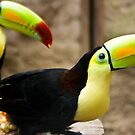 Keel-billed Toucans by Guatemwc