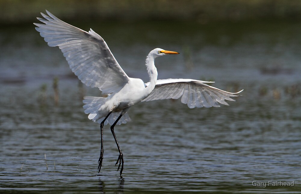 Touch Down / Great Egret by Gary Fairhead