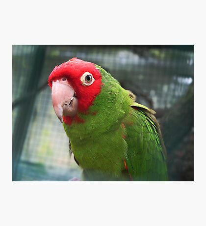 Red and Green Parrot. Photographic Print