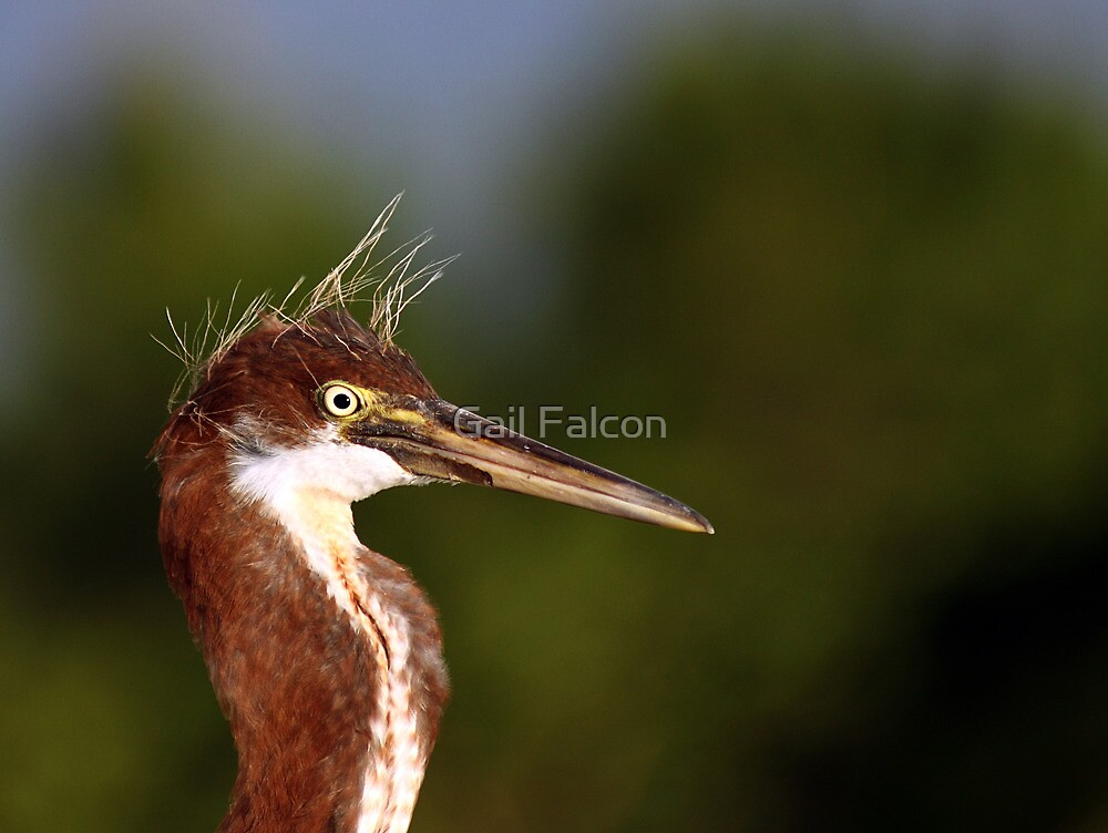 Juvenile Tri Color Heron Still Sporting His Pin Feathers by Gail Falcon