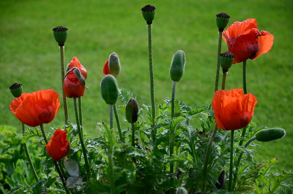 A Portrait Of Poppies by Ainsley Kellar Creations