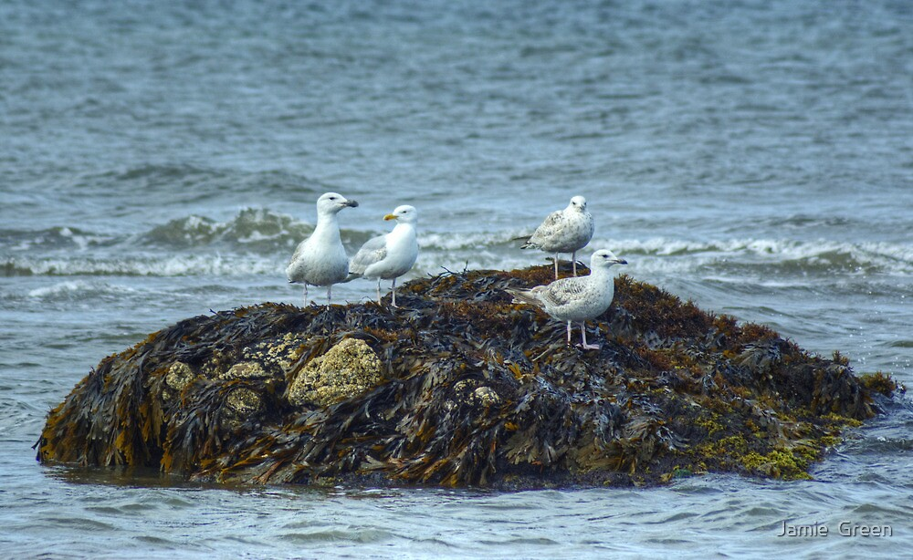Gulls On A Rock by Jamie  Green