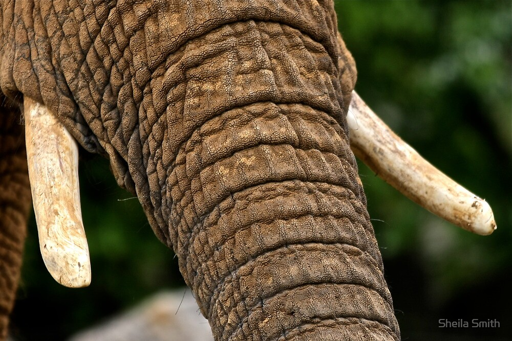 African Elephant - Detail by Sheila Smith