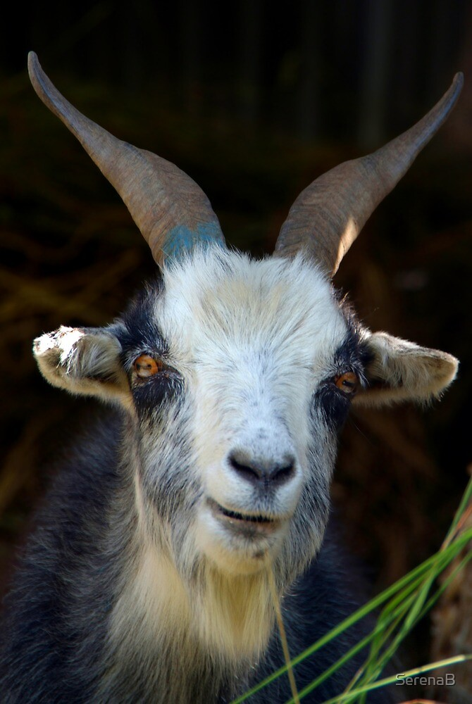 Curious Goat en route to Ghorepani by SerenaB