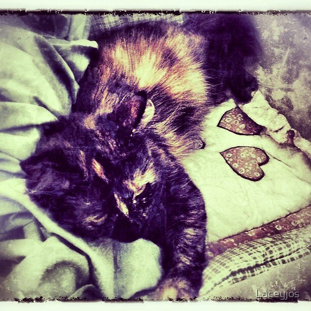calico catnapping  by Laceyjos