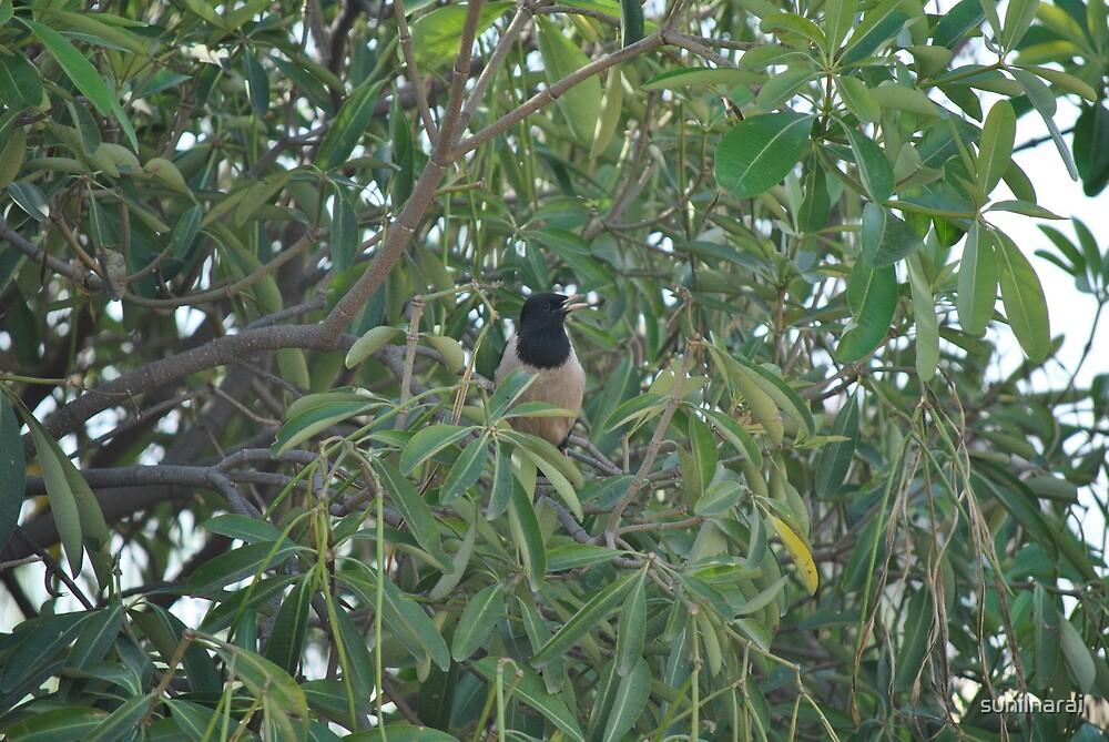 rosy starling, New Delhi, India by sunilnarai