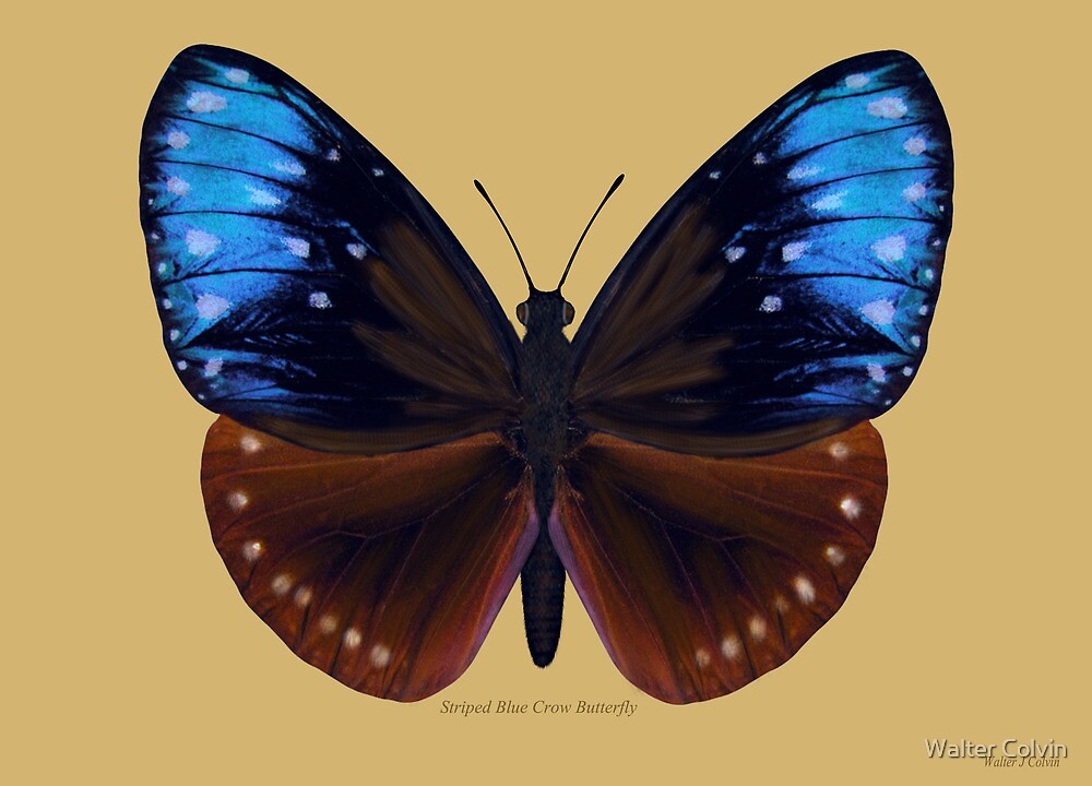 Stripped Blue Crow Butterfly by Walter Colvin