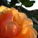 Rose Study by Sherry Freeman