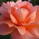 Rose Study II by Sherry Freeman