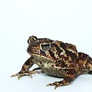 American Toad by Seth LaGrange