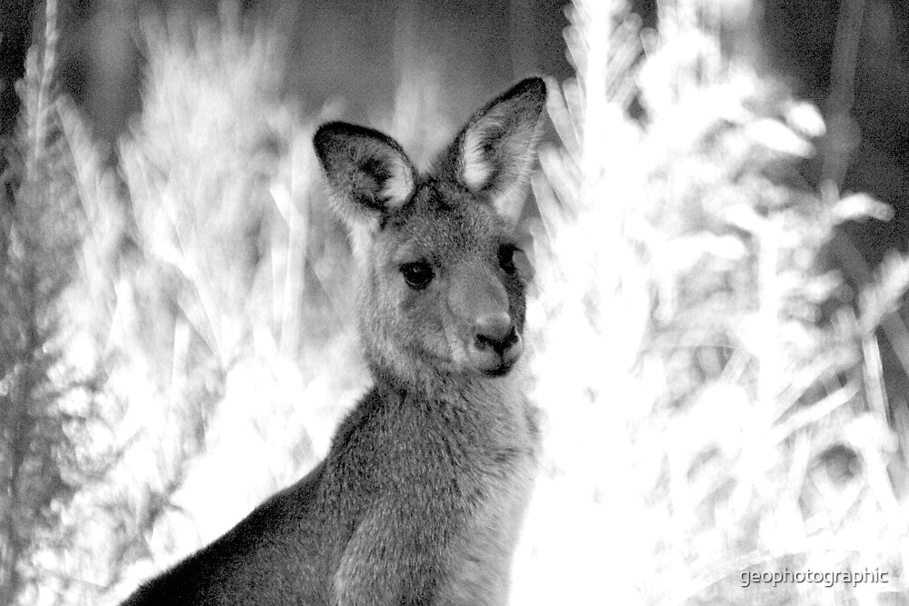 Kangaroo portrait by geophotographic