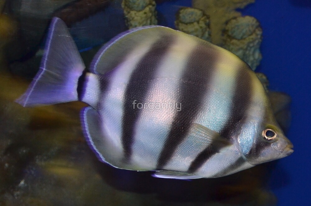 Striped Fish by forgantly