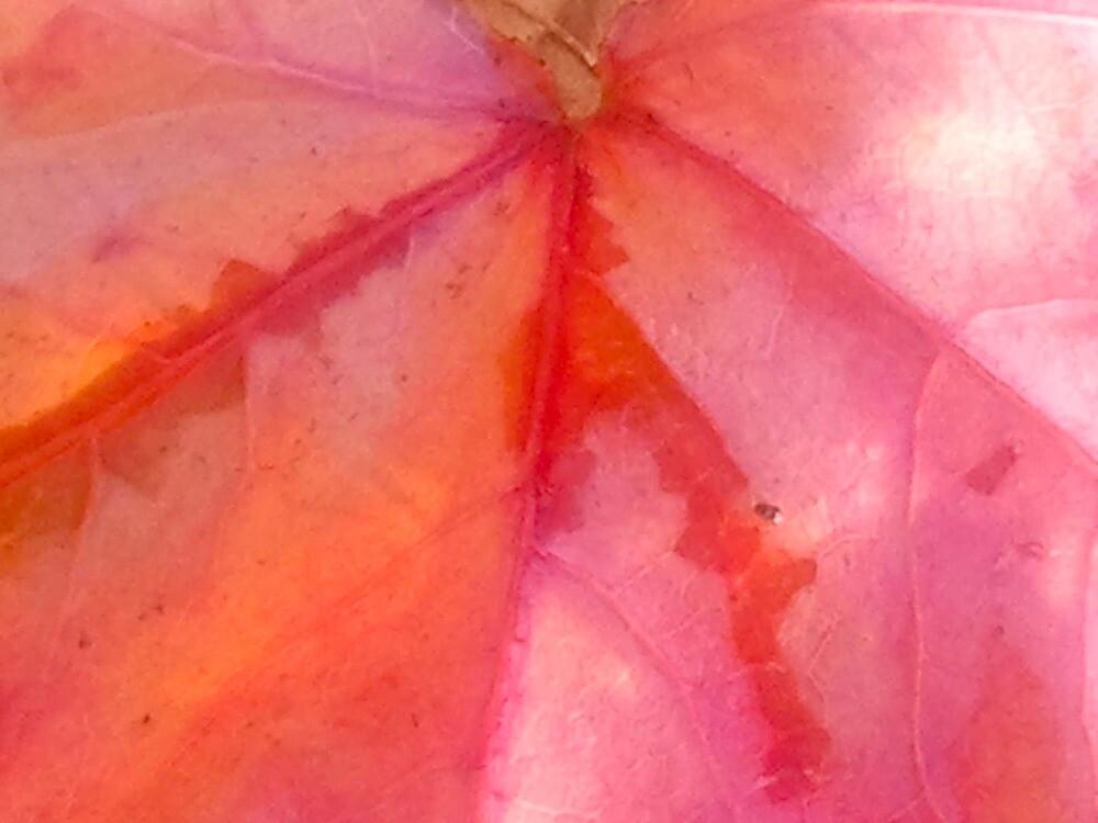 Bright Orange And Pink Leaf by kahoutek24