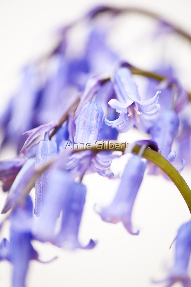 Bluebell Abstract II by Anne Gilbert