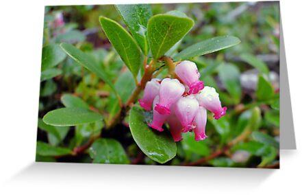 Bearberry - Arctostaphylos uva-ursi by Digitalbcon
