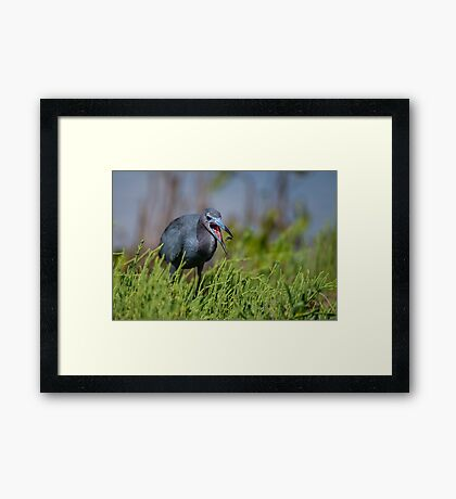 Little Cordon Blue  Framed Print