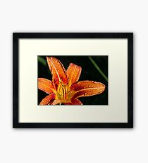 Wet Wild Orange Lily Framed Print