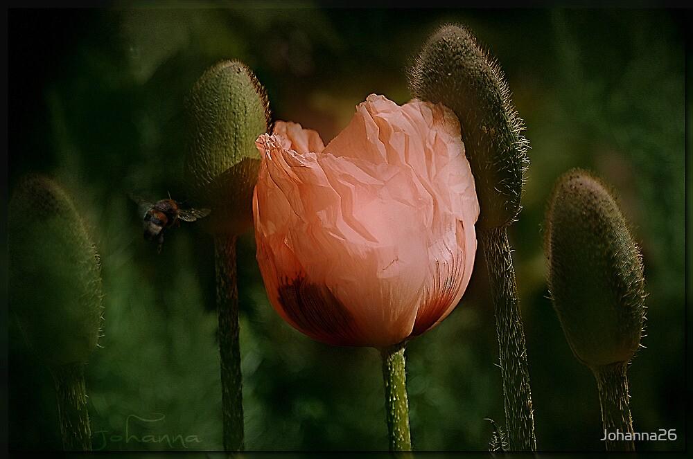Poppy unfolding  by Johanna26