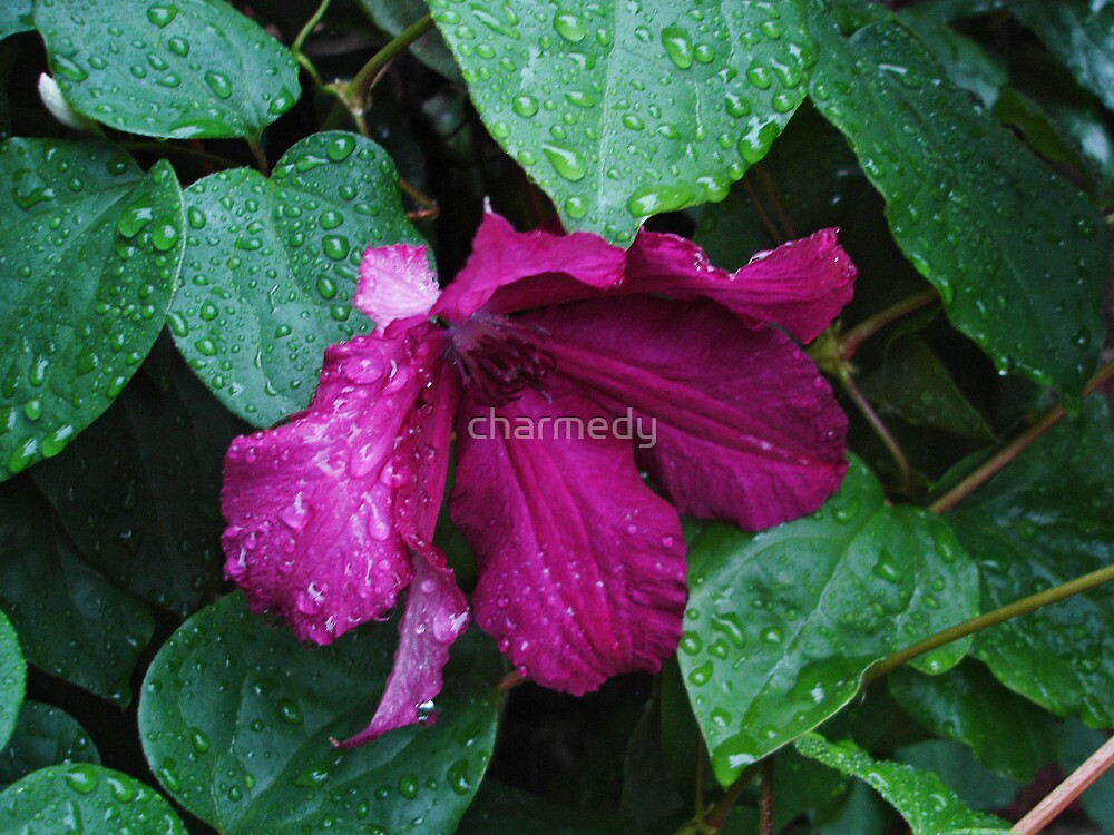 Hot Pink Clematis by charmedy