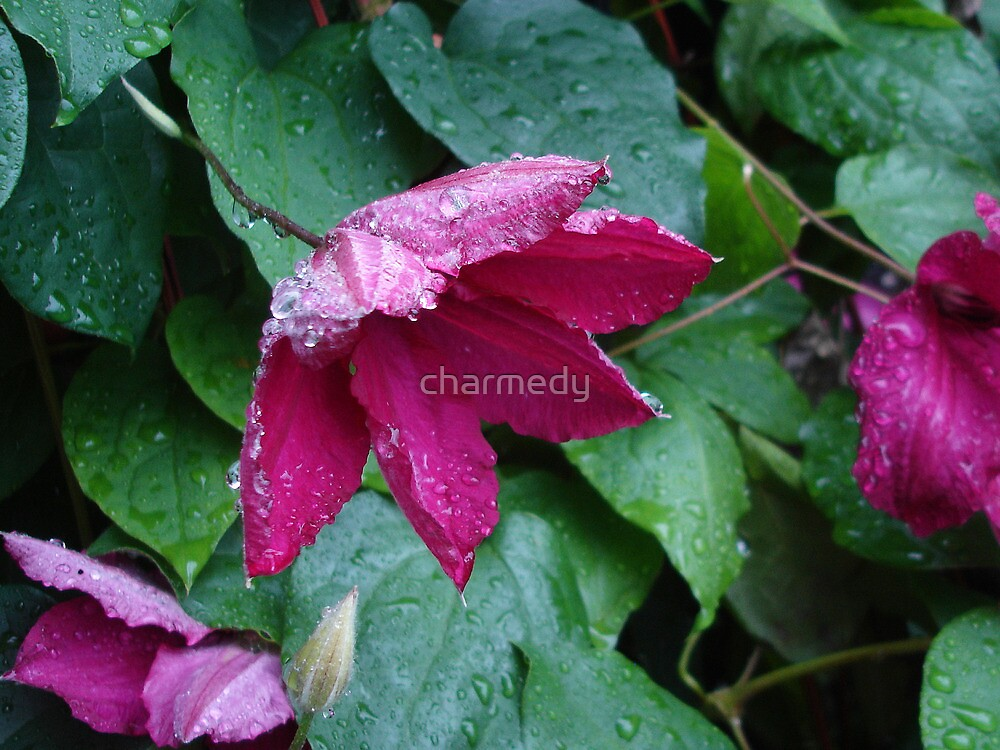 Clematis Rainy Day by charmedy