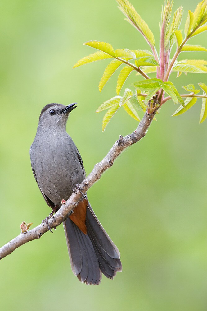 Gray Catbird on Sumac. by Daniel Cadieux