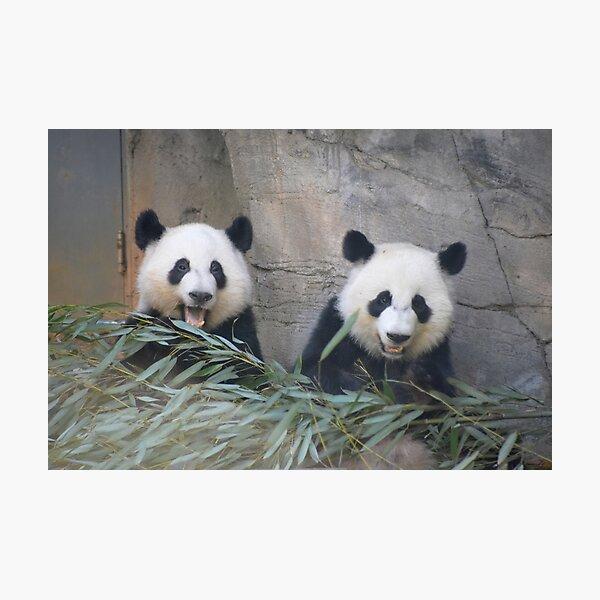 Giant Pandas Ya Lun and Xi Lun at Zoo Atlanta Photographic Print