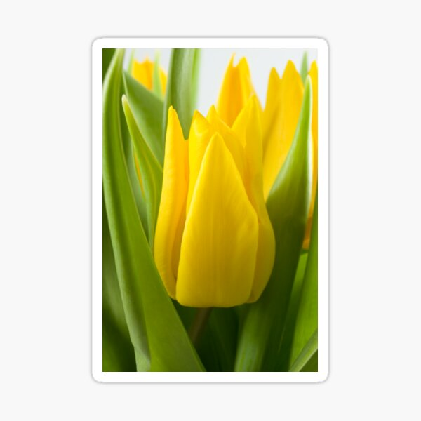 Yellow tulip crown Sticker