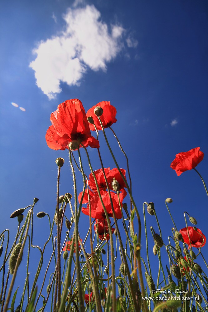 Summer poppys by Peet de Rouw