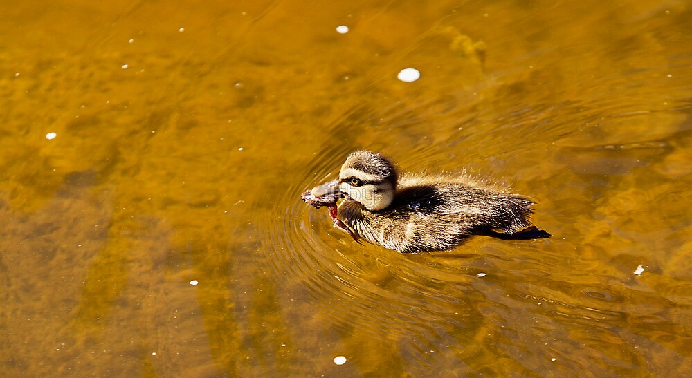Duckling With His Catch by iltby