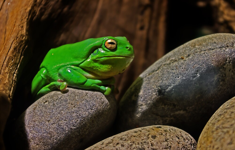 Frog On A Rock by TonyCrehan