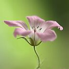 Delicate Geranium by Donna-R