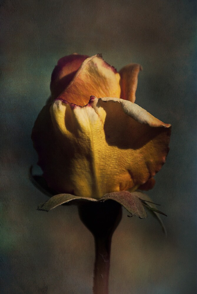 Textured Rose by ajgosling