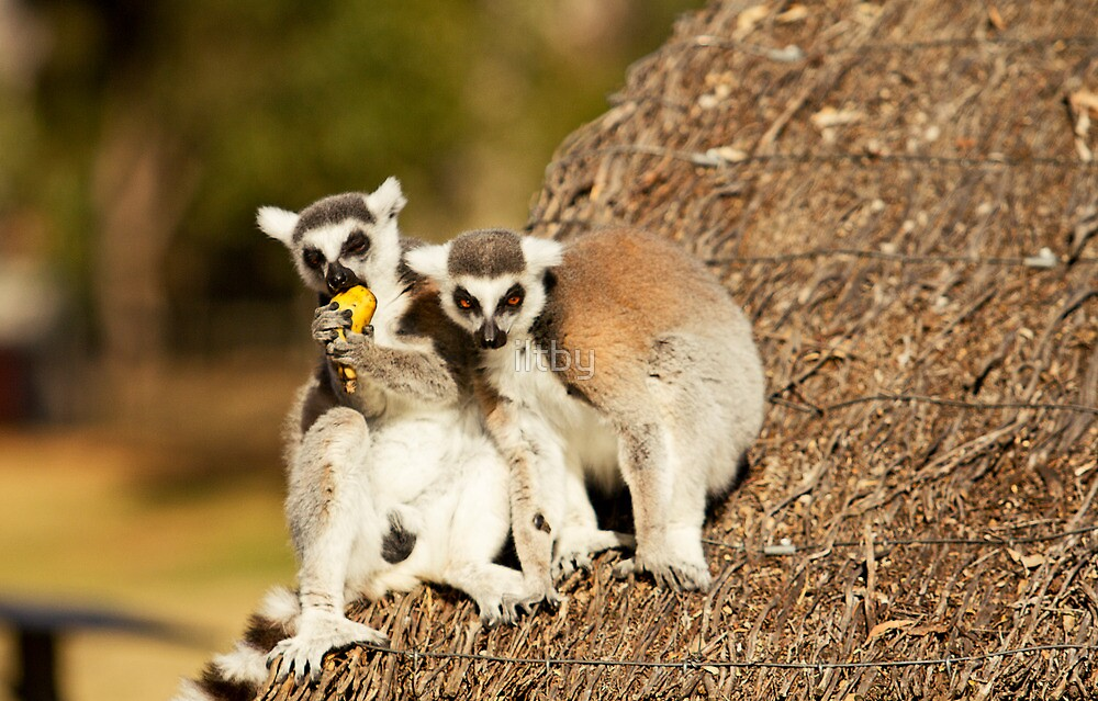 Lemurs Don't Share by iltby