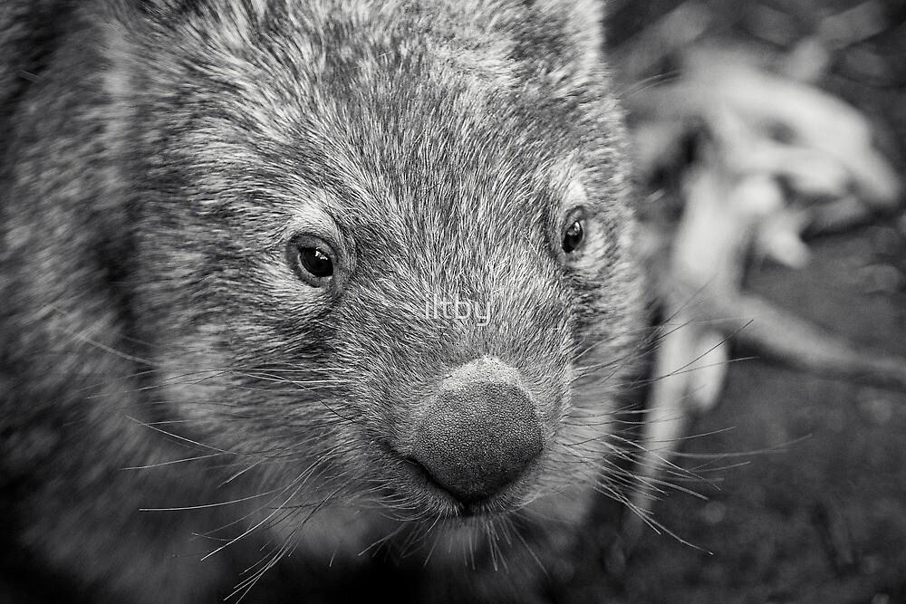 Suzie The Wombat II by Josie Eldred