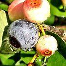Blueberries in Morning Dew 2 by Dan McKenzie