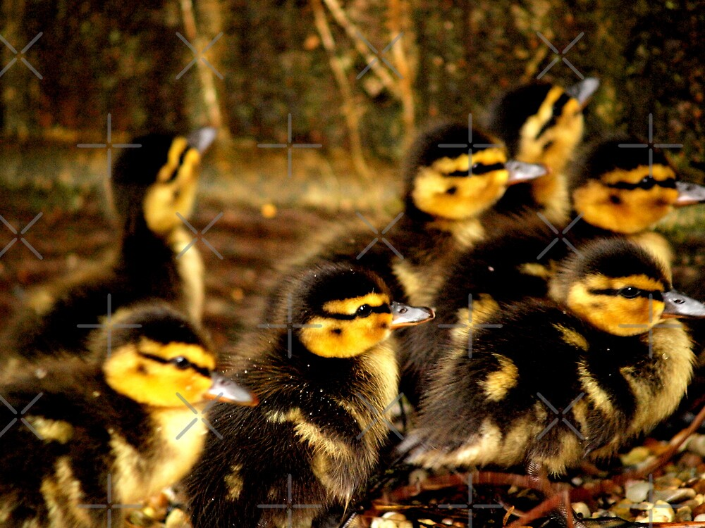 Ducklings  by colette2511