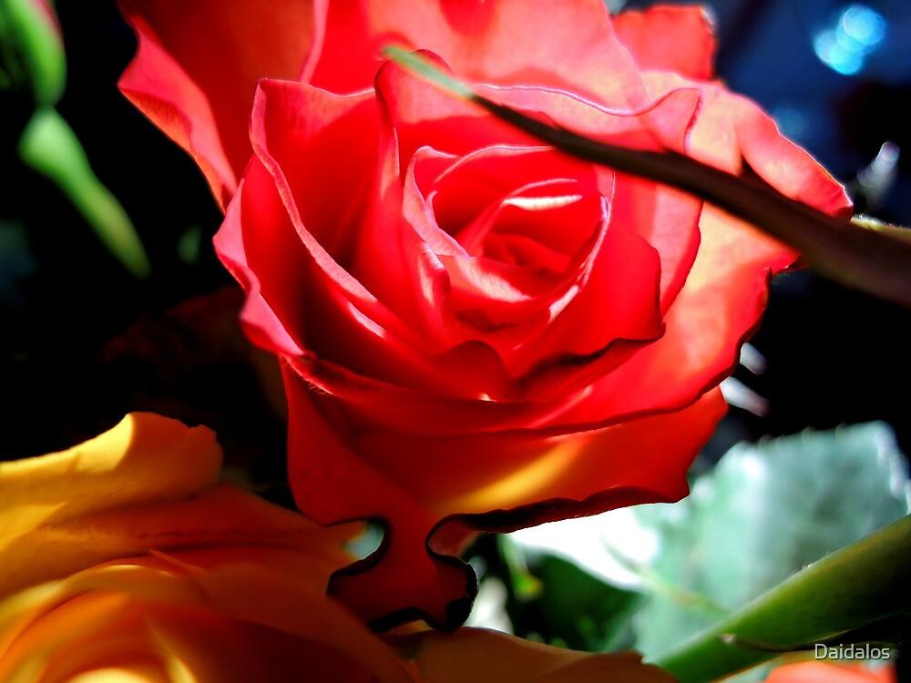 roses... by Daidalos