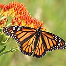 Monarch Butterfly on Butterfly Milkweed by SusieG