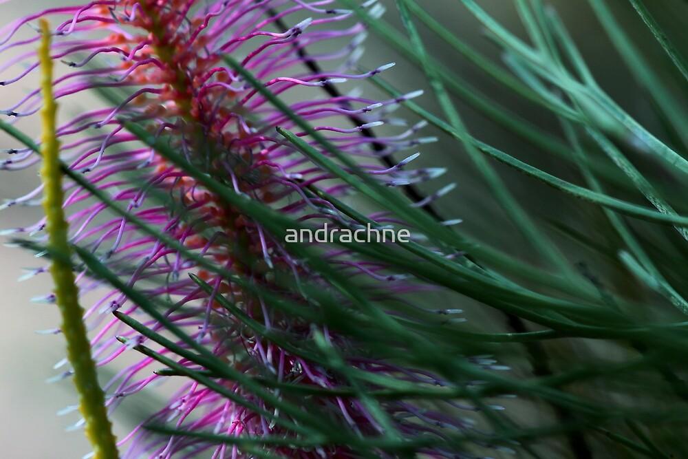 Grevillea petrophiloides subsp. petrophiloides by andrachne