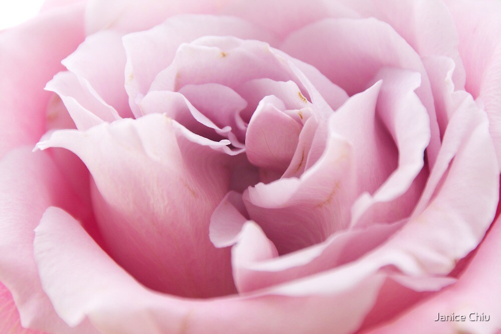 Pink Rose by Janice Chiu