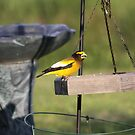 Yellow Bird - Evening Grosbeak # 2   by gypsykatz