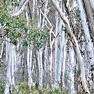 Snow Gums of Hill End NSW Australia by Bev Woodman