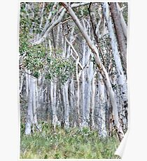 Snow Gums of Hill End NSW Australia Poster