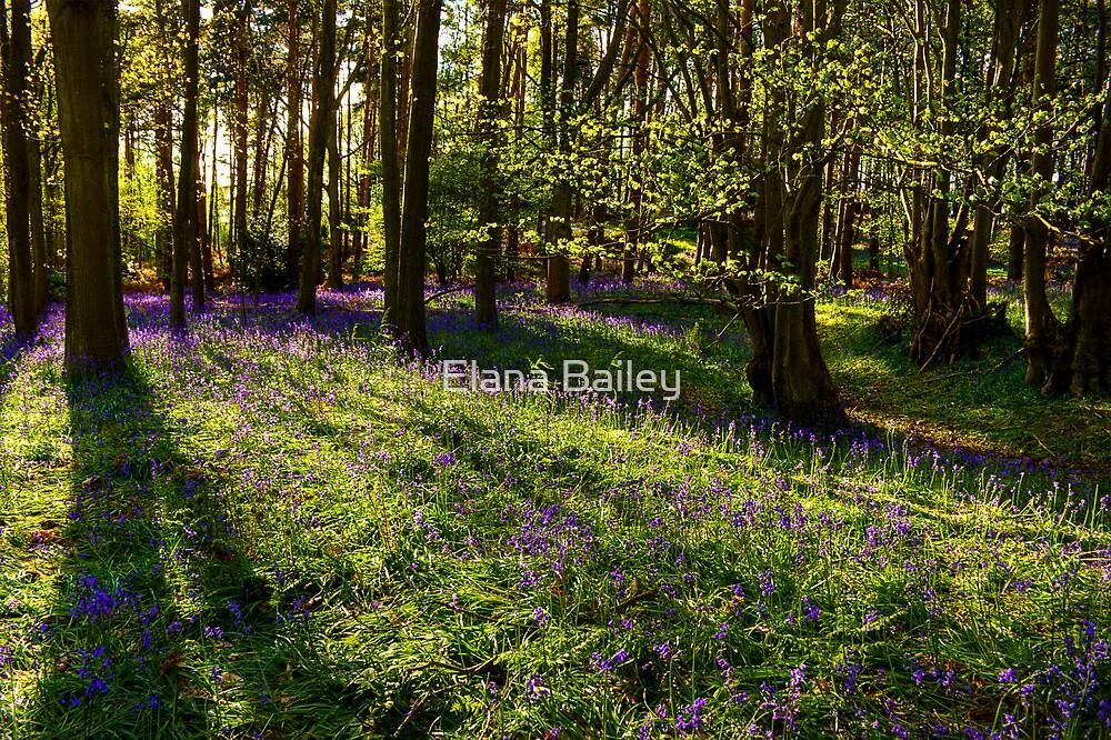 Bluebells and shadows at Oversley Wood, UK by Elana Bailey