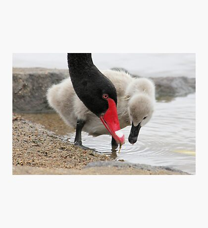 Watch  me son This is how you do it  baby swan Photographic Print
