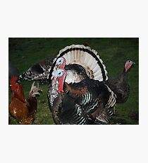 Turkeys! Photographic Print