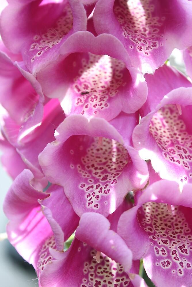 Pink foxglove by Aaron  Wahab