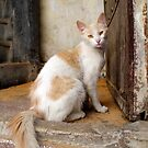 Street Cat, Fes, Morocco by Debbie Pinard