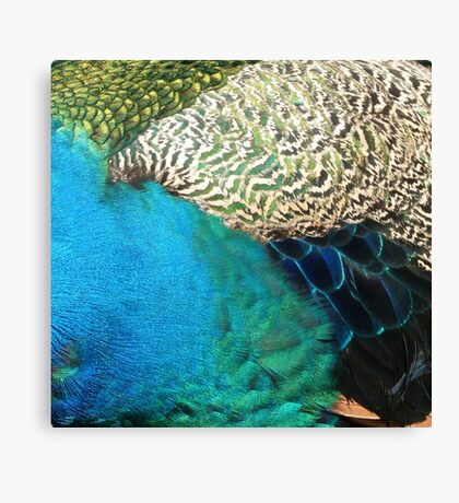 Many Feathers of Mr Peacock Canvas Print