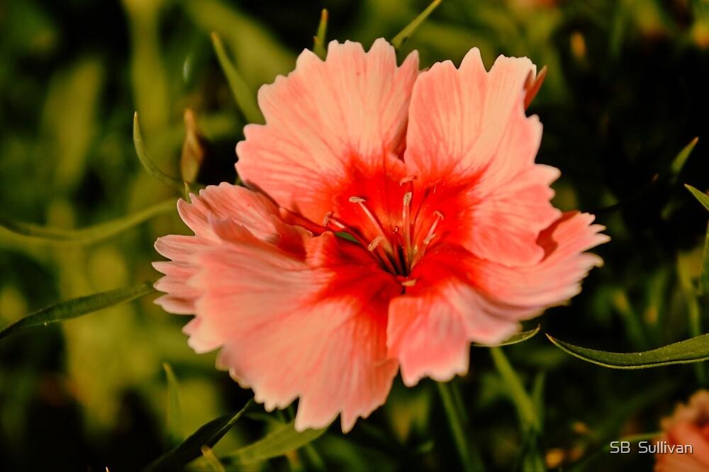 Strawberry Parfait Dianthus  by SB  Sullivan